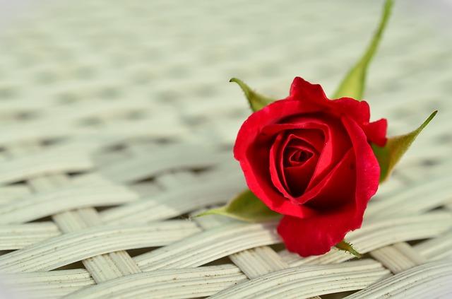 rose-812765_640